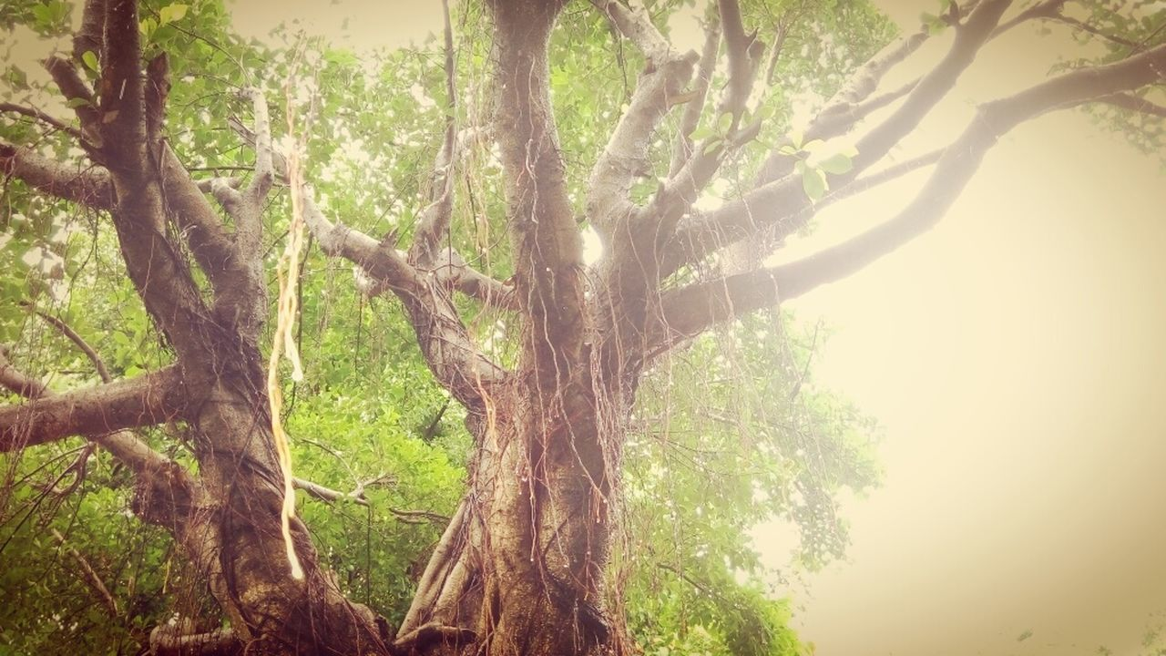 tree, tree trunk, nature, branch, day, tranquility, growth, beauty in nature, no people, outdoors, scenics, sky