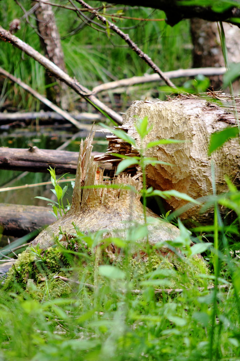 Beauty In Nature Beaver Work Biber's Werk Green Nature Outdoors Plant Tranquil Scene Wood