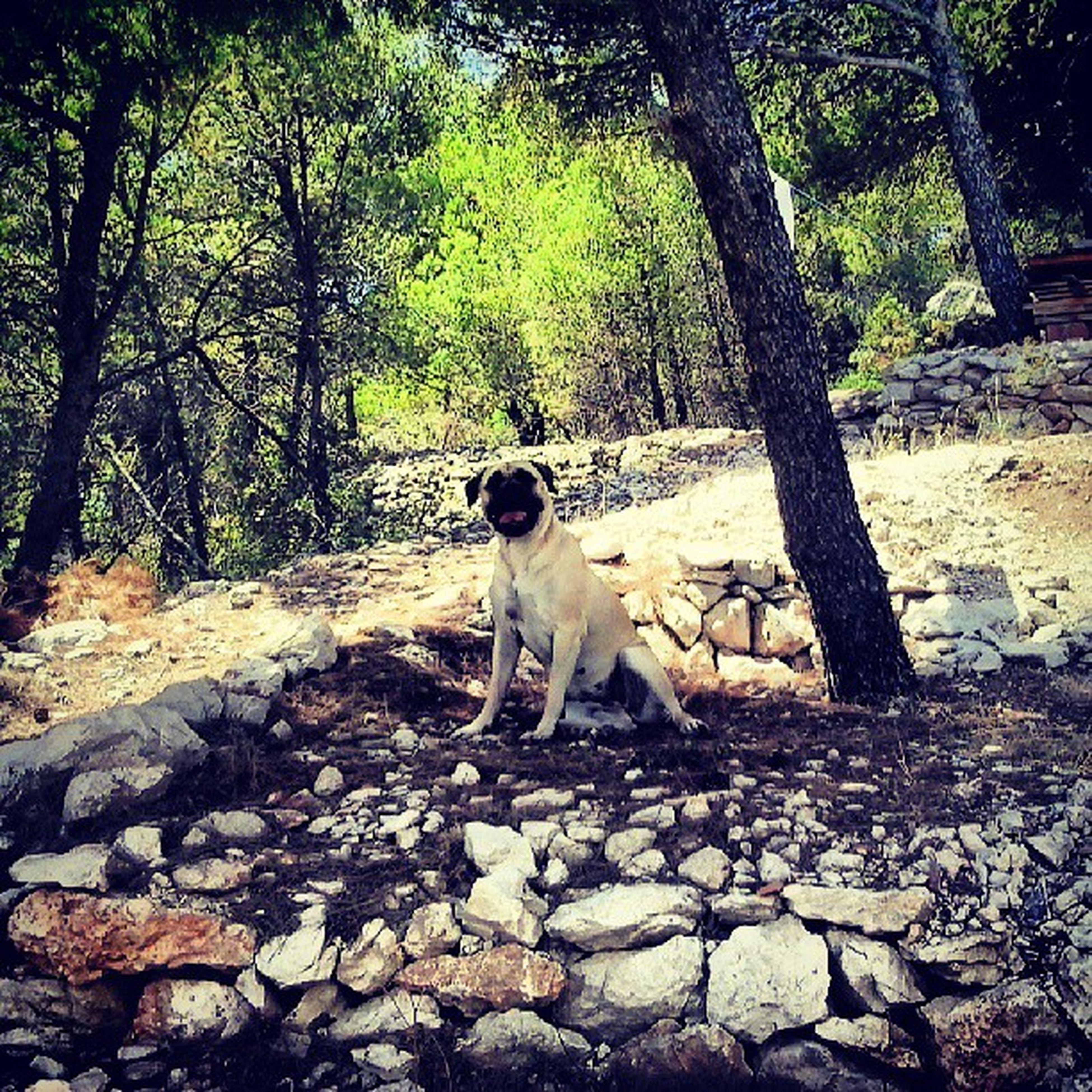 tree, animal themes, mammal, full length, one animal, forest, dog, standing, rock - object, nature, domestic animals, tree trunk, walking, day, sitting, outdoors, pets, growth