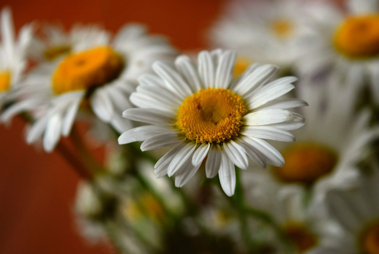 Freshness Flower Fragility Petal Flower Head Close-up Beauty In Nature Daisy Growth Nature Yellow Selective Focus Blossom Plant Daisies Soft Focus Extreme Close Up Summer Nature Photography Focus On Foreground Indoors  Flower Arangement