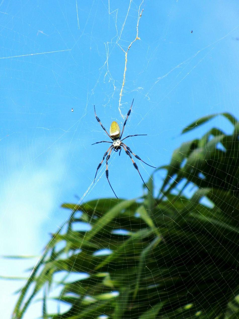 Golden Silk Orb Weaver Spider Spiderweb Golden Silk Orb Weaver Banana Spider Arachnid Spiders Overhead Florida Wildlife