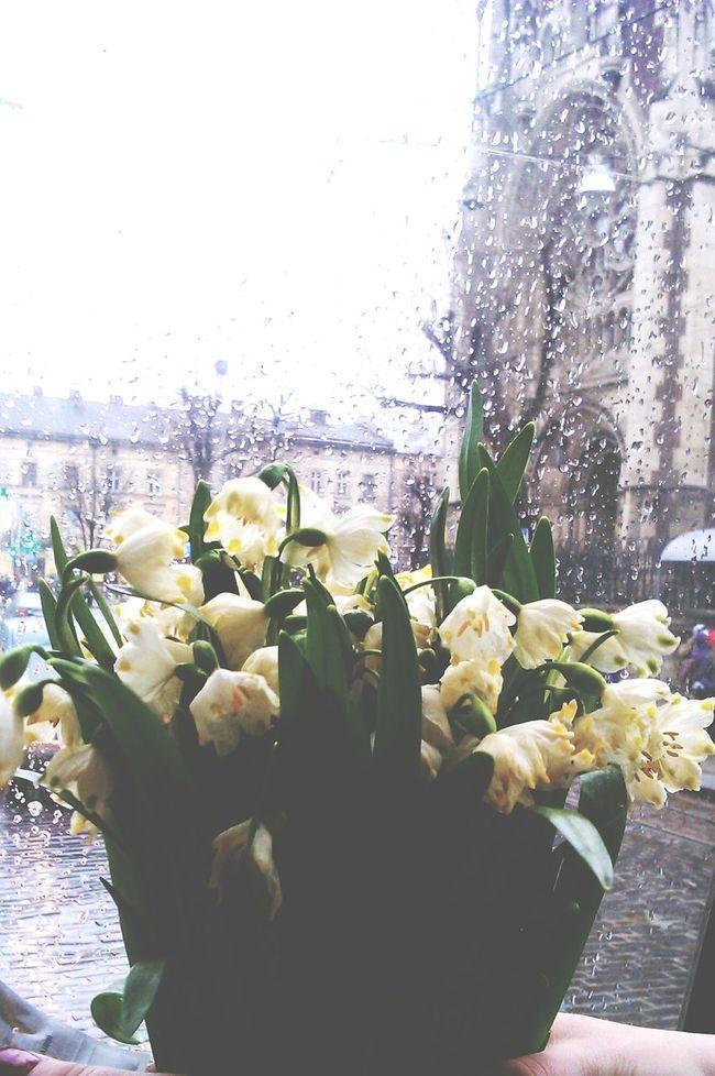 Spring Rainy Day Lviv Leucojum Spring Snowflake