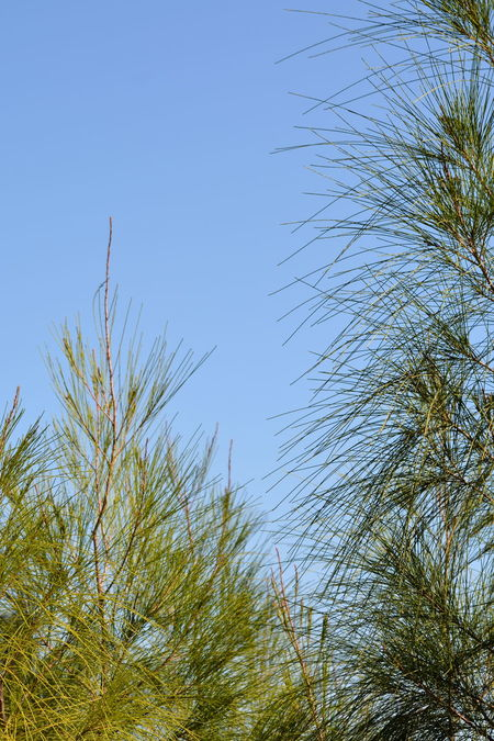 Australian pines of Florida Clear Sky Sky Low Angle View Tree Nature Beauty In Nature Day Outdoors No People Pine Trees Pine Needles Backgrounds Delicate Against Blue Sky