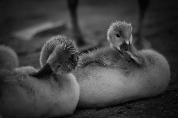 Animal Themes Animal Wildlife Animals In The Wild Babyswans Bird Bnw Bnw_collection Close-up Day Nature No People Outdoors Swan Togetherness Young Animal Young Bird