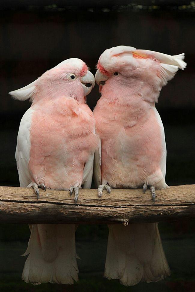 First Kiss Kakaktua Emobird Eternal Love Parrot Lover Eyem Market Everyday Emotion