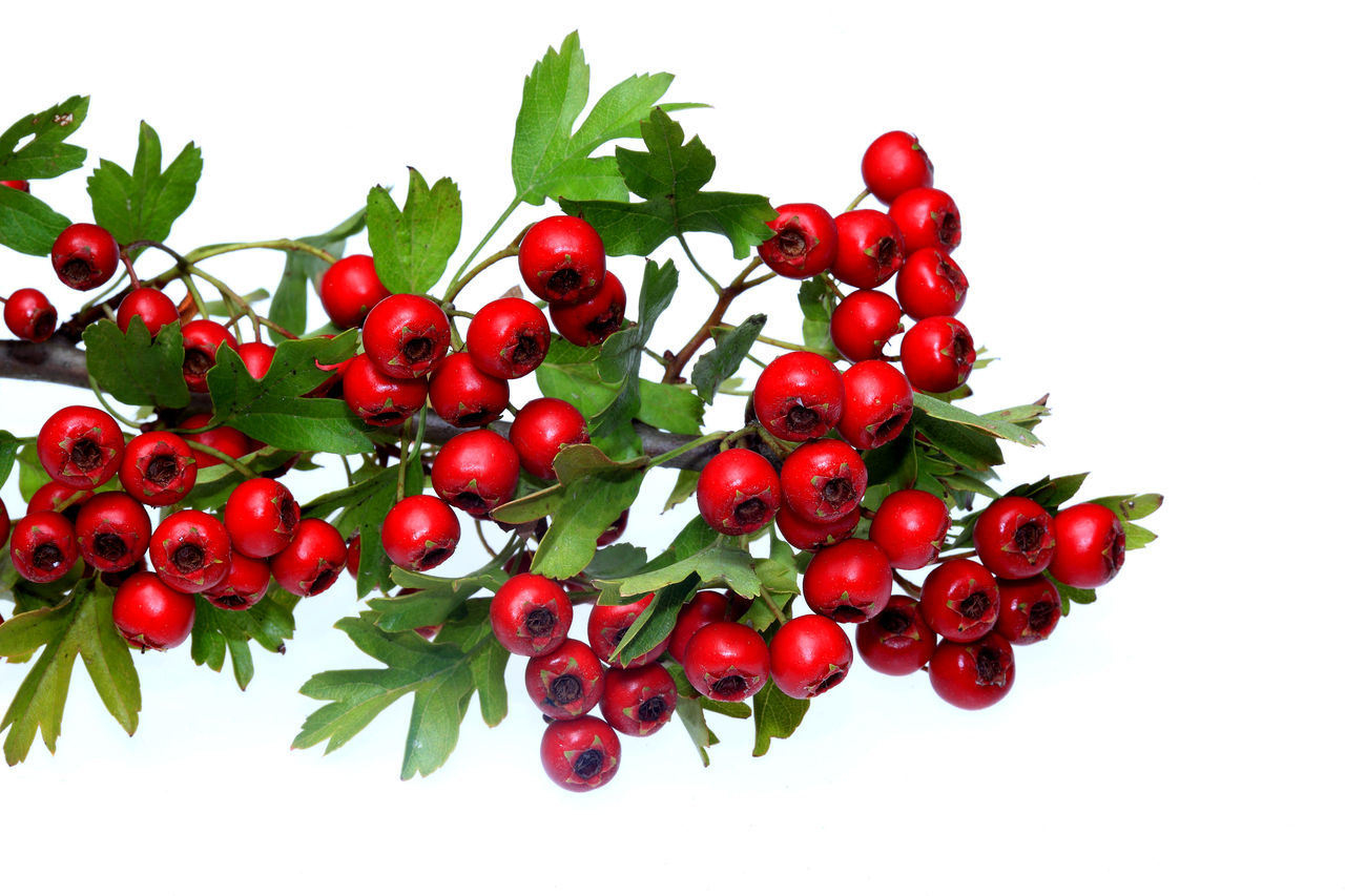 red ripe Hawthorn berries Berries Close-up Day Food Food And Drink Freshness Fruit Hawthorn Hawthorne Healthy Eating No People Outdoors Red Rowanberry White Background