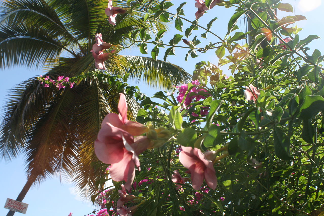 Nature's Diversities Blooming Blossom Carribean Flower Allamanda Flowers Freshness Growth In Bloom Isla Margarita Background Many Flowers Margarita Island Much Flowers Nature Palm Tree Paradise Pink Pink Color Sky Tree Tropical Tropical Climate Tropical Plants