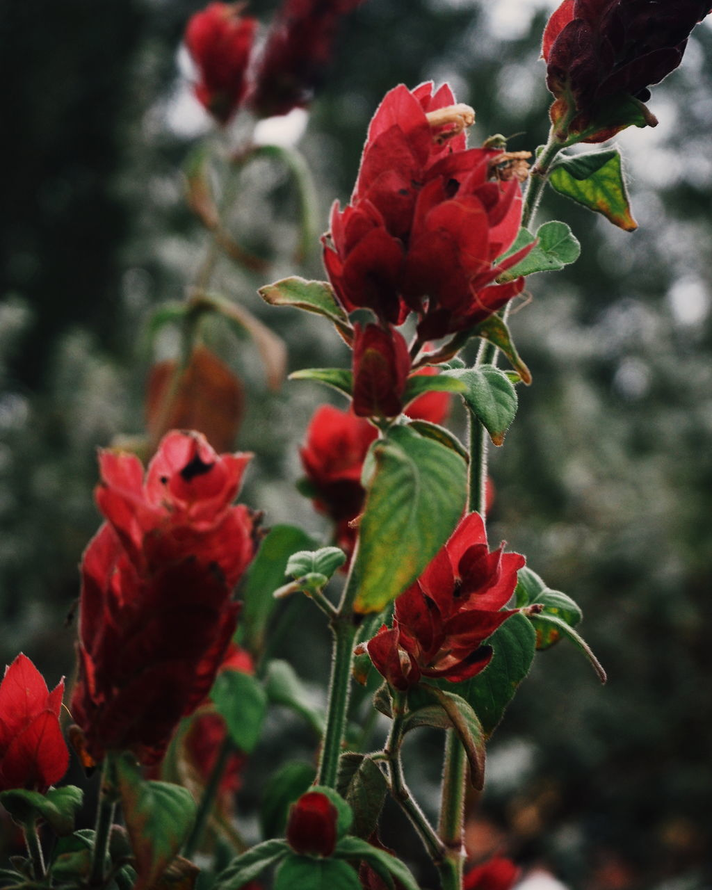 red, flower, growth, nature, beauty in nature, petal, plant, fragility, no people, focus on foreground, outdoors, freshness, blooming, flower head, close-up, day