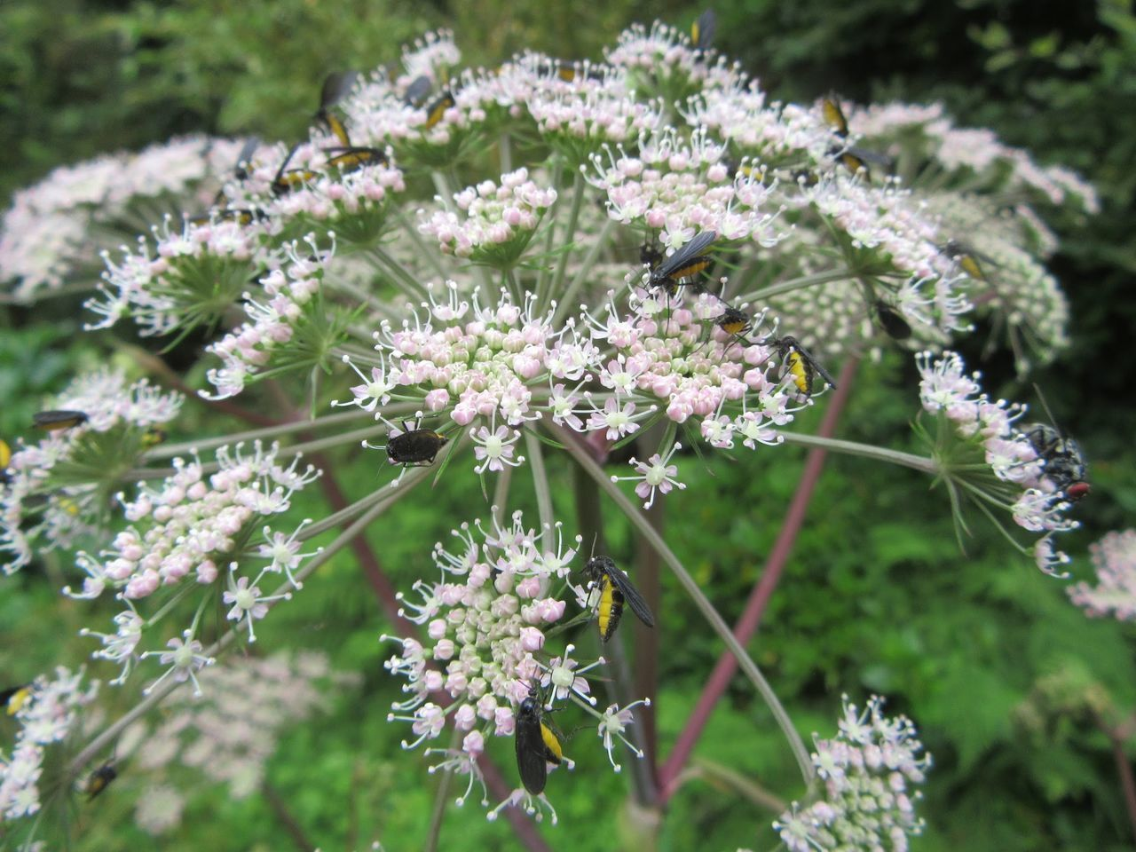 Hogweed/Heracleum sphondylium Flower Fragility Freshness Growth Beauty In Nature Nature Plant Close-up Focus On Foreground Selective Focus Springtime In Bloom Day Flower Head Botany Blossom Pink Color Petal Outdoors Blooming Insects And Flowers Hogweed Insects Feed Native Flora Ireland