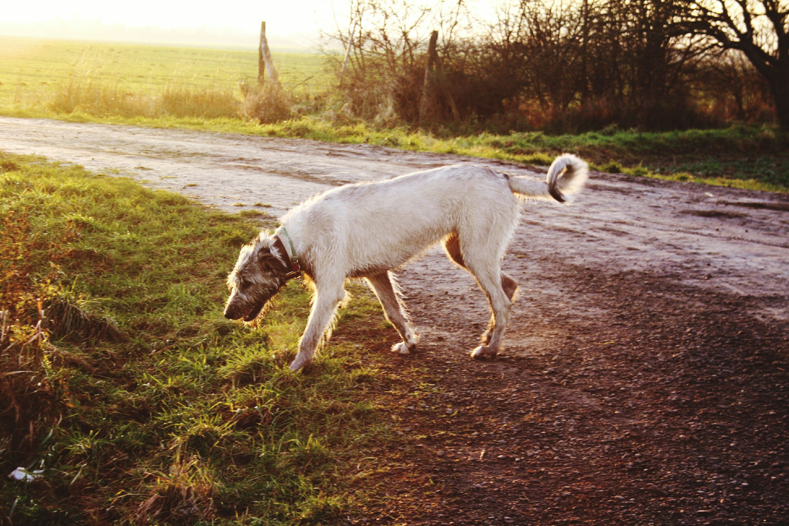 animal themes, mammal, domestic animals, grass, one animal, full length, standing, field, walking, nature, landscape, side view, dog, livestock, water, zoology, tree, day, pets, outdoors