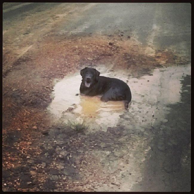 Olha no que deu o primeiro passeio de 2014. LAMAAA Relaxbrador Labradorbrasil Labinstagram Laboftheday labradorlove worldoflabs