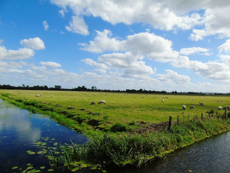 Sky Water Tranquil Scene Tranquility Animal Themes Green Color Beauty In Nature Domestic AnimalsRural Scene Field Cumulus Cloud Wide Shot Travel Destinations Somerset Levels Uk In All Its Glory Nature On Your Doorstep Nature