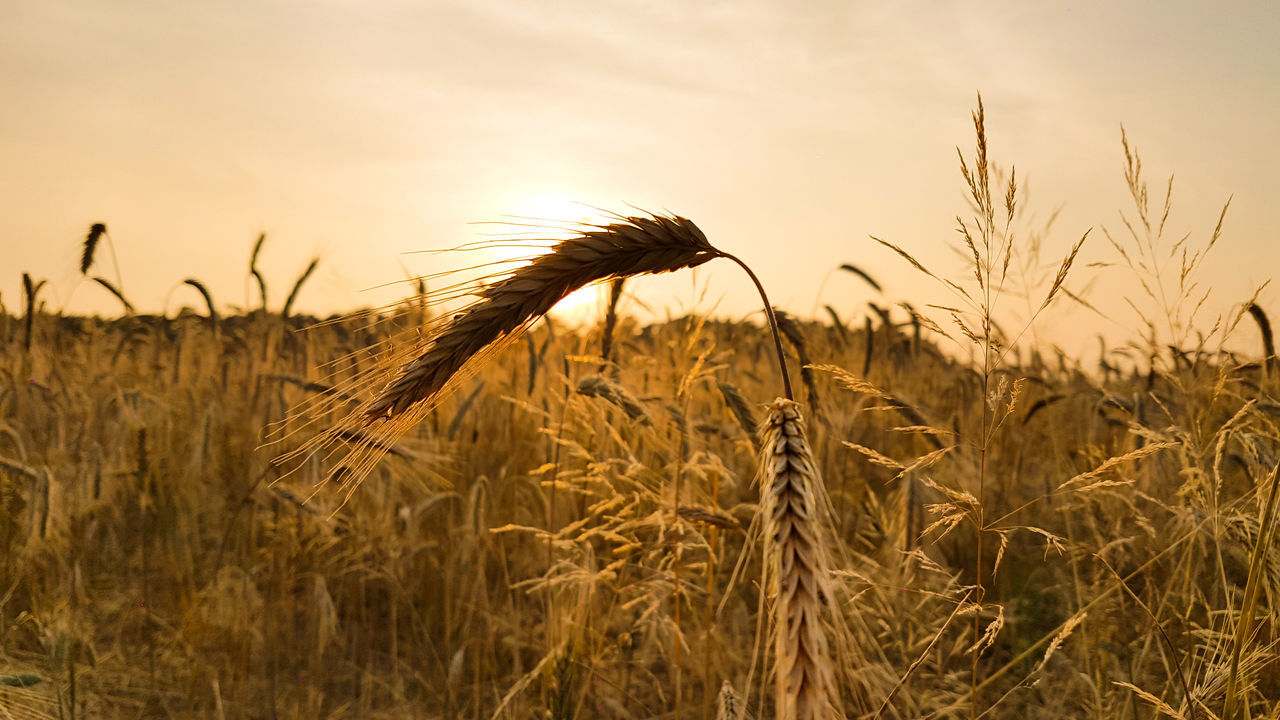 Wheat Field Bread Sunset Agriculture Cerals Gold Crop  Rural Landscape Farm Coutryside Seed Bread Lubuskie Poland