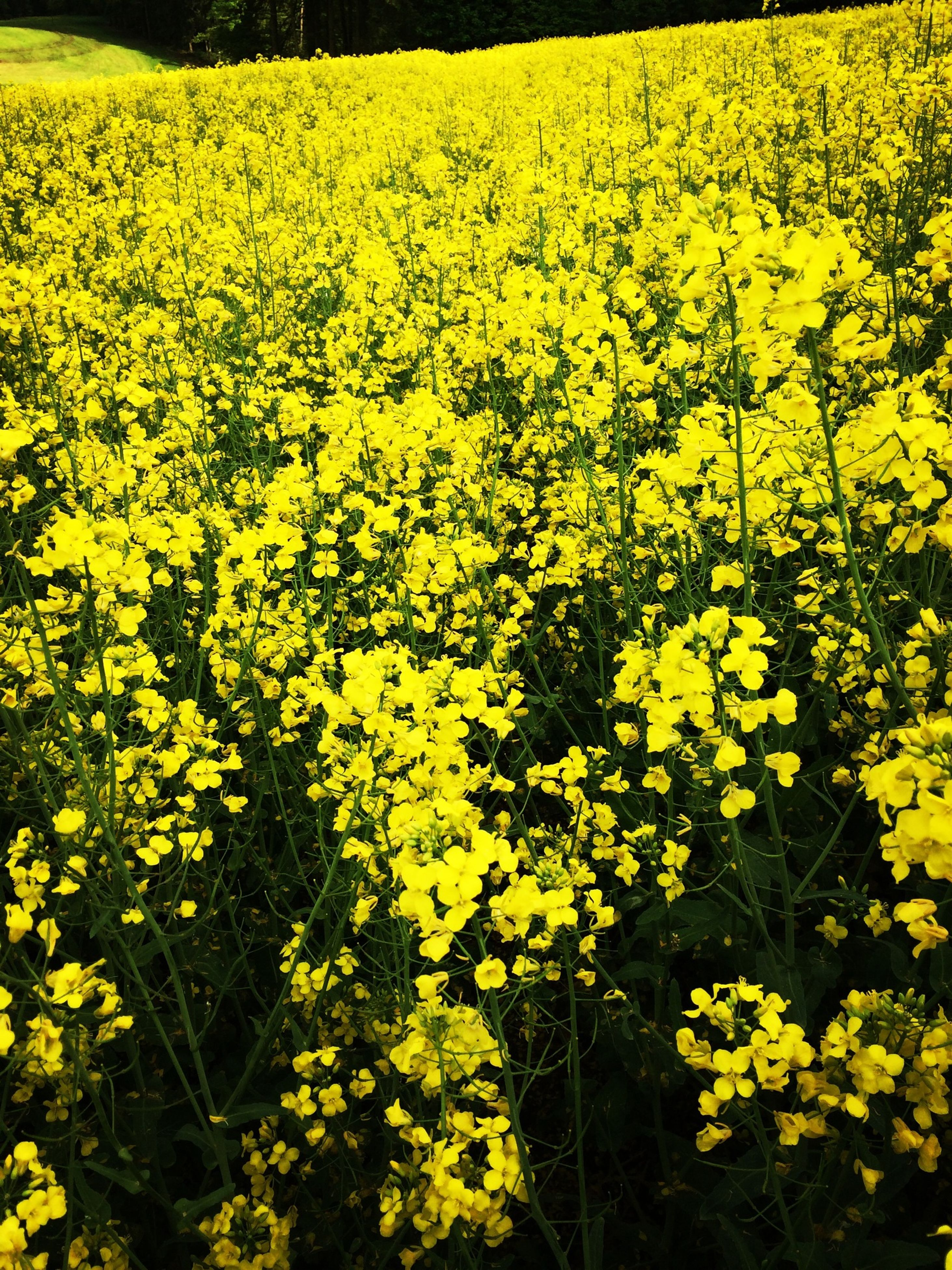 flower, yellow, freshness, growth, beauty in nature, fragility, full frame, abundance, nature, field, plant, backgrounds, blooming, petal, flower head, high angle view, agriculture, in bloom, outdoors, day