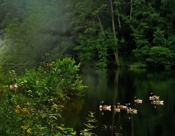Evening Fog Geese Family Last Swim Of Day After Sundown Forest Lake Green Island In The Background Dark Water Water Reflections Nature Landscape Lake View No People Outdoors Beliebte FotosBirkenweiher Langenselbold Germany🇩🇪 Showcase June Hidden Gems
