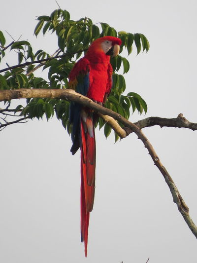Amazon Amazon Rainforest Amazon River Amazonas Animal Themes Animals In The Wild Beauty In Nature Bird Bird Photography Macaw Nature At Its Best Nature Up Close