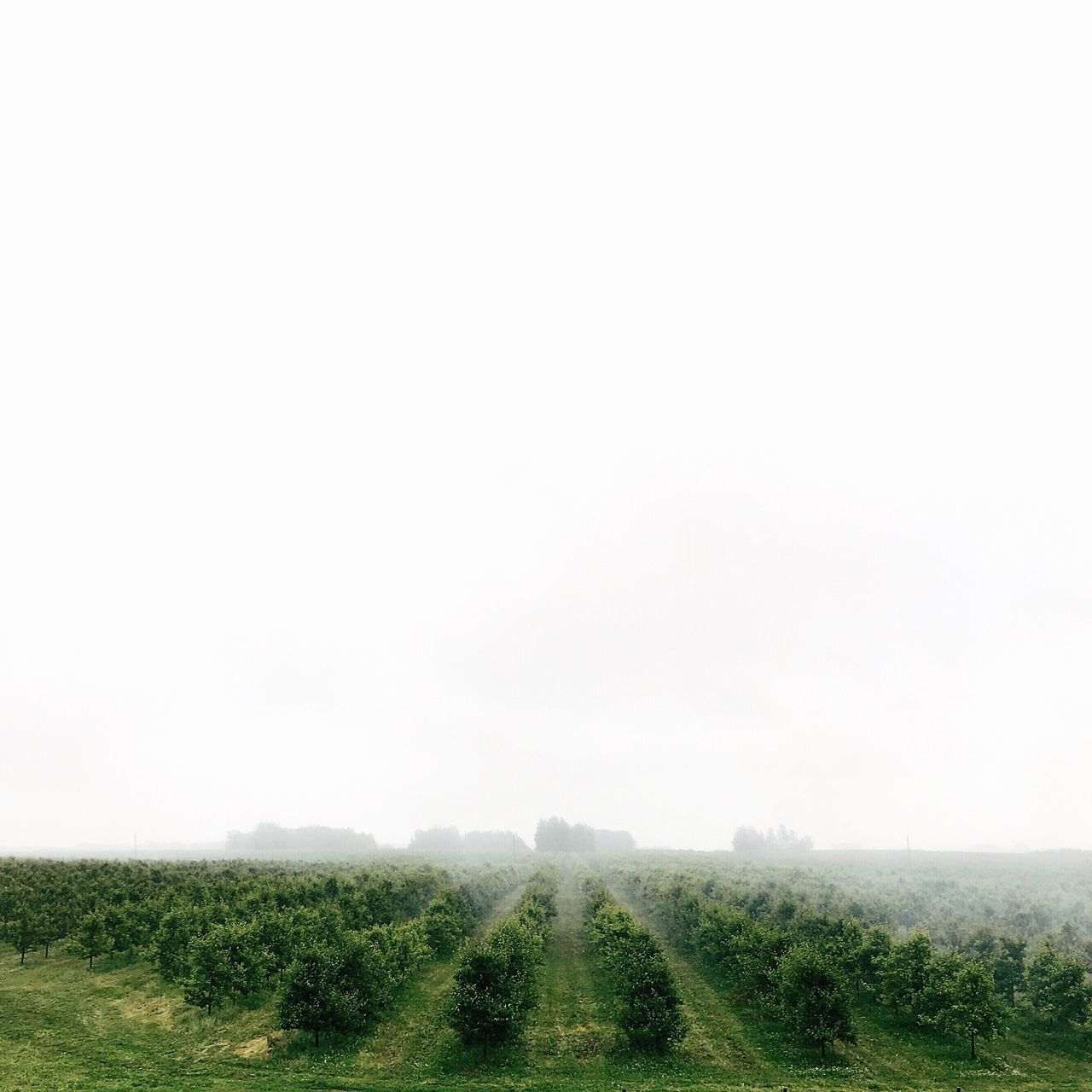 Foggy morning Landscape Nature Tranquility Field Beauty In Nature Agriculture Tranquil Scene Scenics Growth Copy Space Green Color Travel Minimalism Nature_collection Nature Photography Morning Light