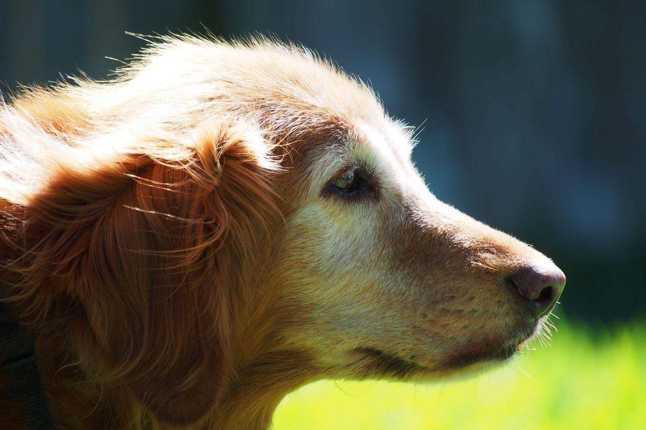 Beautiful stock photos of golden retrievers, Animal Head, Animal Themes, Close-Up, Day