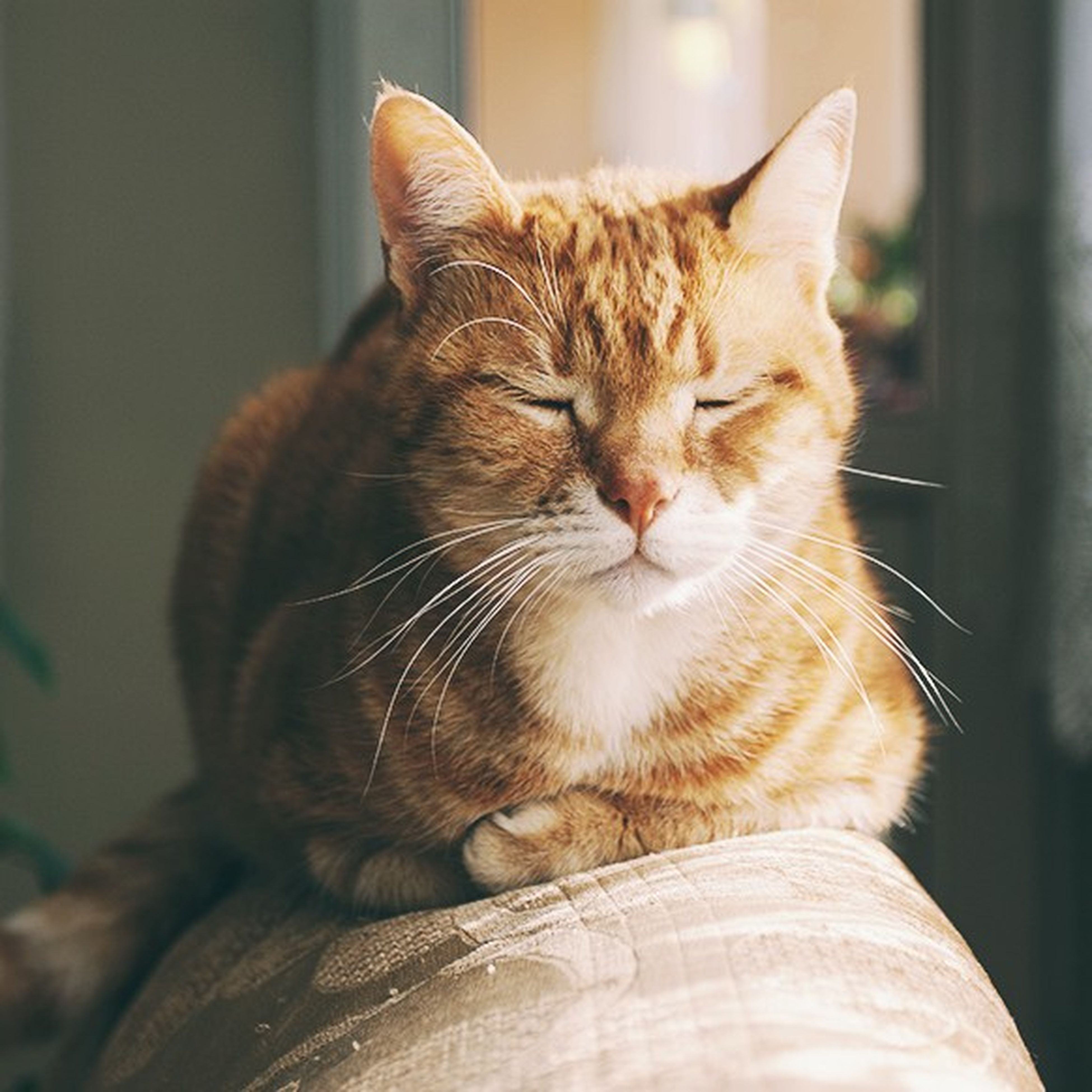 domestic cat, cat, feline, animal themes, one animal, pets, mammal, whisker, domestic animals, focus on foreground, close-up, relaxation, looking away, indoors, animal head, sitting, tabby, alertness, side view, portrait