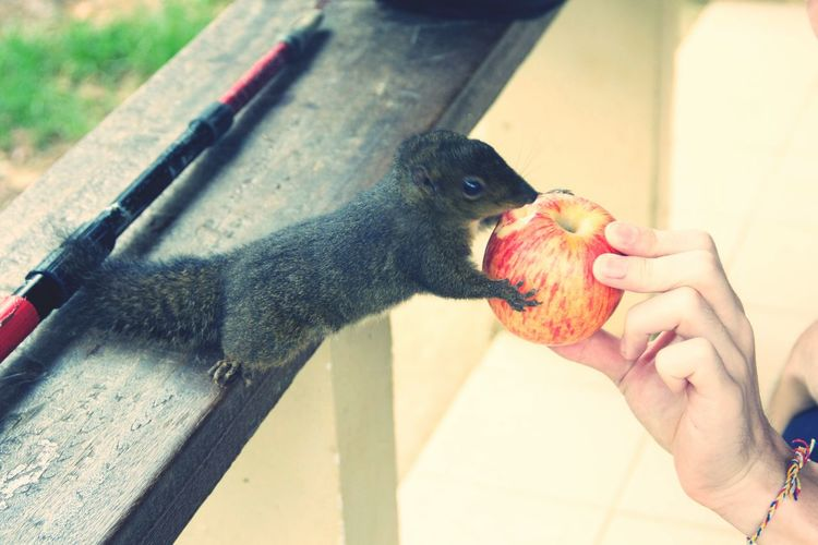 This Fellow Squirrel Crazy For Apple Share My Apple