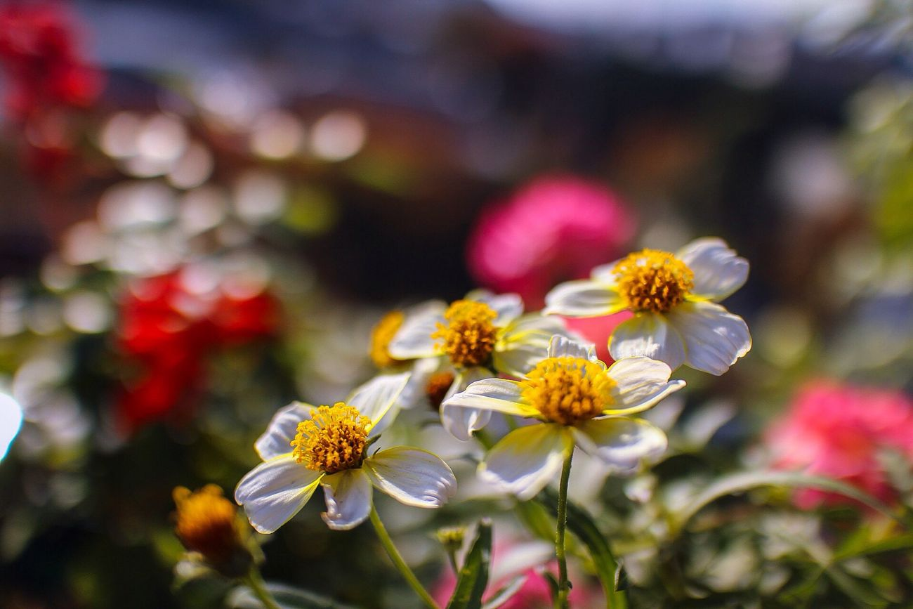Nature Flower Collection Flowers Flower Porn Flower Plants 🌱 Nature_collection Bokeh Naturelovers ウインターコスモス