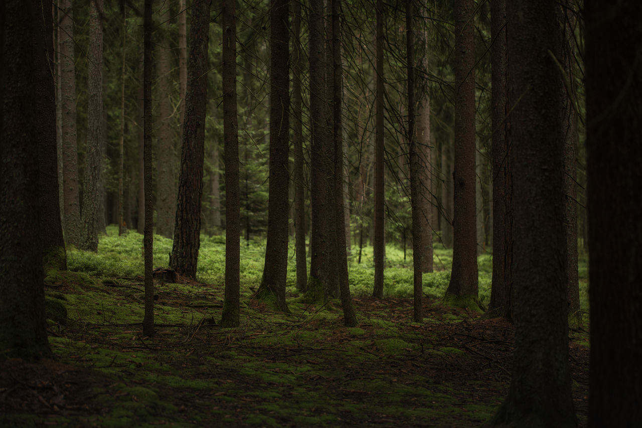 forest, tree trunk, tree, nature, tranquil scene, tranquility, beauty in nature, scenics, woodland, outdoors, growth, no people, day