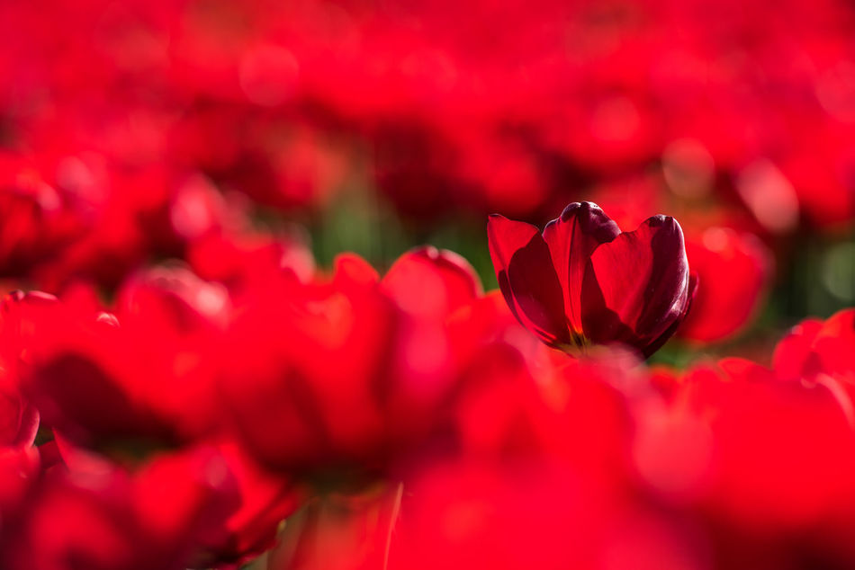 Close up of red tulips 16x9 Argriculture Beautiful Close Up Colors Flora Flowers Holland Netherlands No People Plant Red Spring Tulips Zeeland