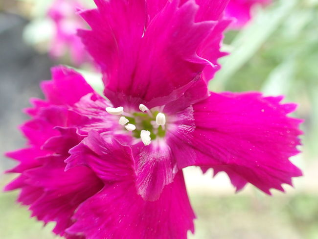 Beauty In Nature Blooming Close-up Flower Flower Head Fragility Growth Nature Petal Pink Color Plant
