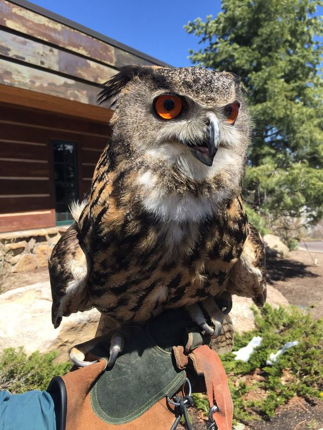 Eurasian Eagle Own Eurasian Eagle Owl  Birds Bird Owl Eagle Eagle Owl  Colorado Wildlife & Nature Animal