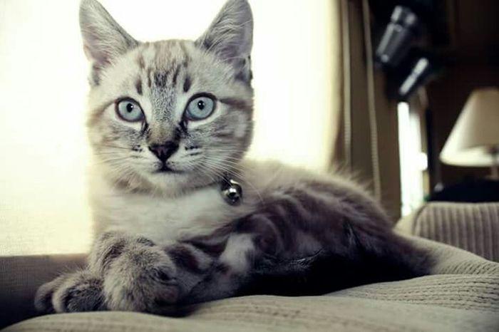 Odette Gato Cat Pet