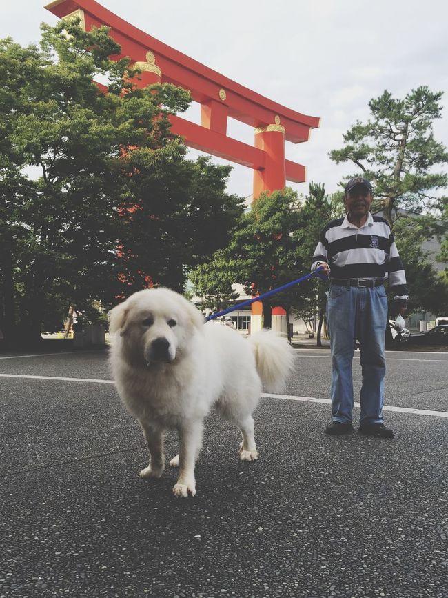 グレートピレニーズ Dog Taking Photos Check This Out Cute Pets His name is CHOCOBO!!!!!🐶❤️
