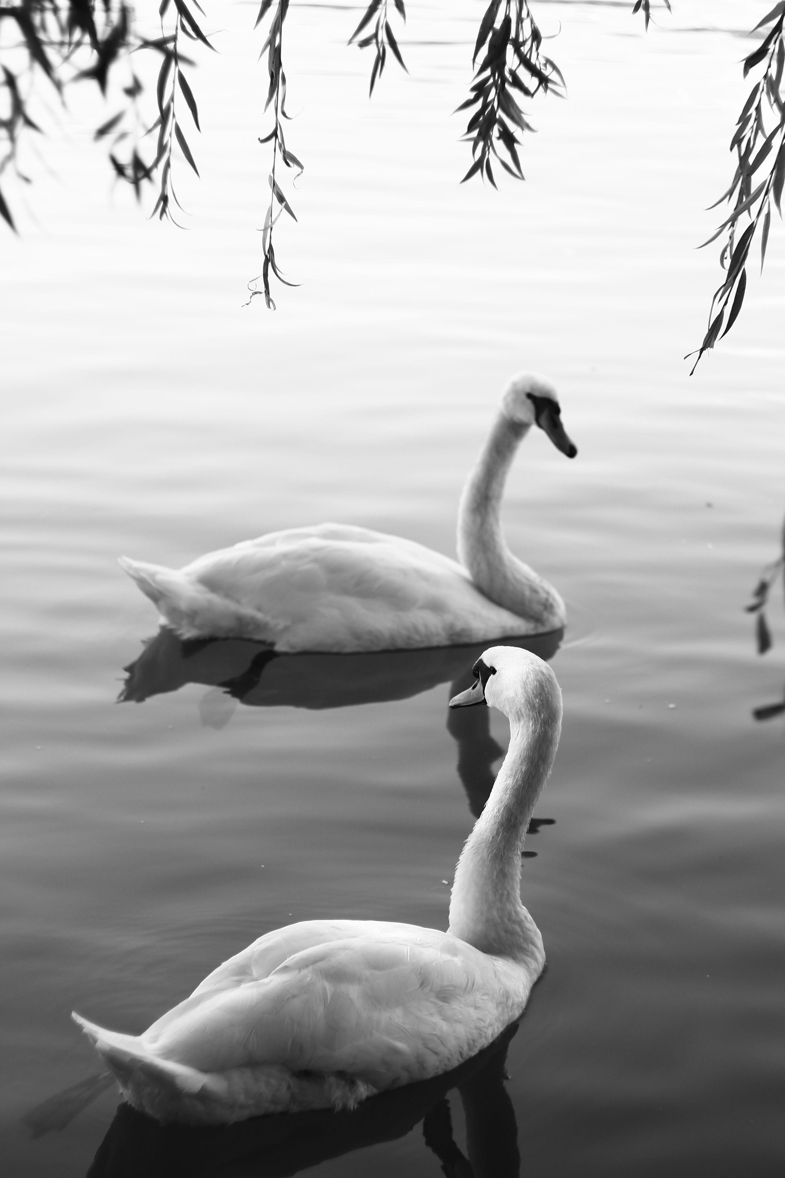 animals in the wild, animal themes, bird, lake, animal wildlife, water, nature, one animal, no people, water bird, reflection, outdoors, day, swimming, swan, beauty in nature, sky, close-up