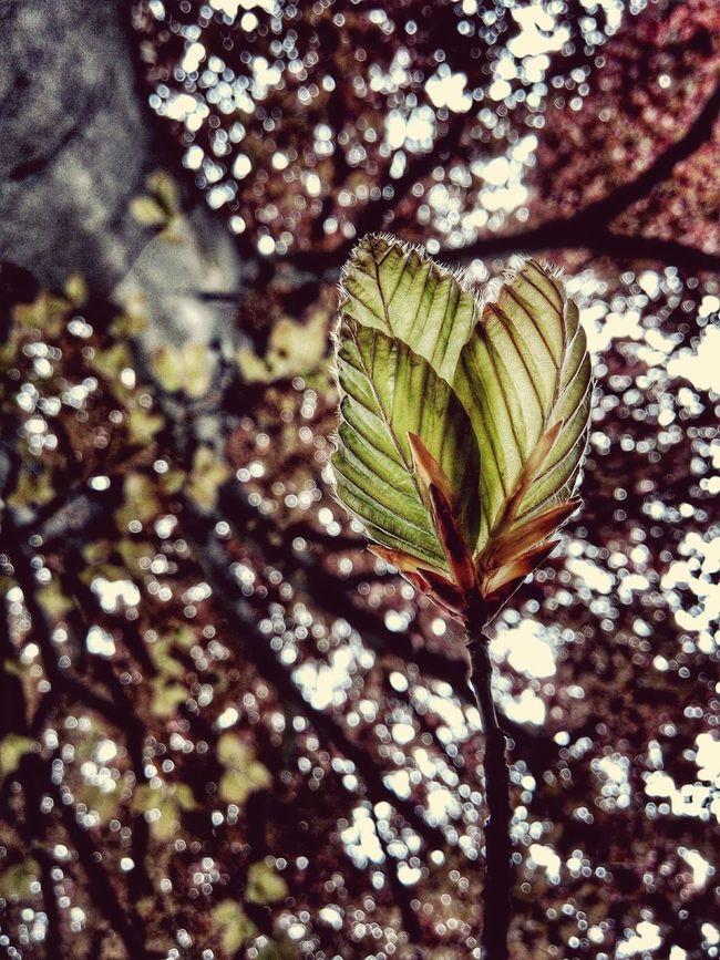 Beech Beechleaves Macro Hairy Leaves Fagus Sylvatica Red Beech Bokeh Heartshape Leafveins Natures Diversities