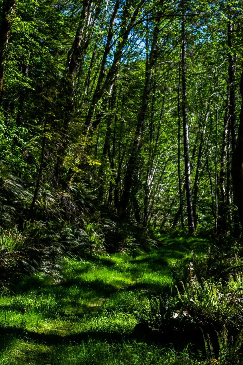 forest, nature, tranquility, tree, beauty in nature, tranquil scene, scenics, lush foliage, growth, day, green color, no people, outdoors, grass, tree trunk, branch