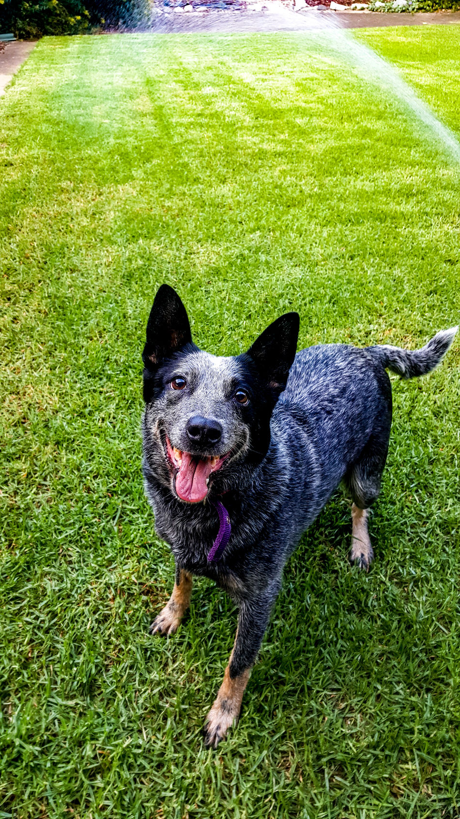 Pets Animal Themes One Animal Dog Domestic Animals Mammal Grass Looking At Camera No People Outdoors Nature Day Happy Smile Puppy Doggy Cattledog Heeler Blue Heeler Blue Heelers Happiness
