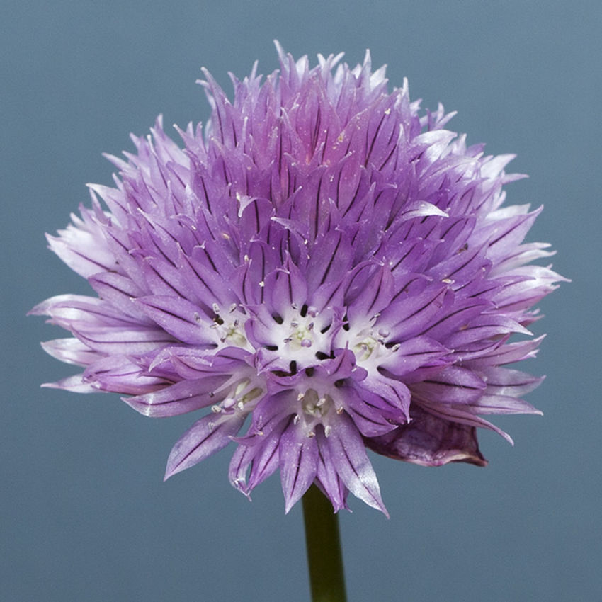 Chive flower Beauty In Nature Blooming Chive Chive Flower Close-up Flower Flower Head Fragility Freshness Growth Nature No People Petal Plant Purple Studio Shot