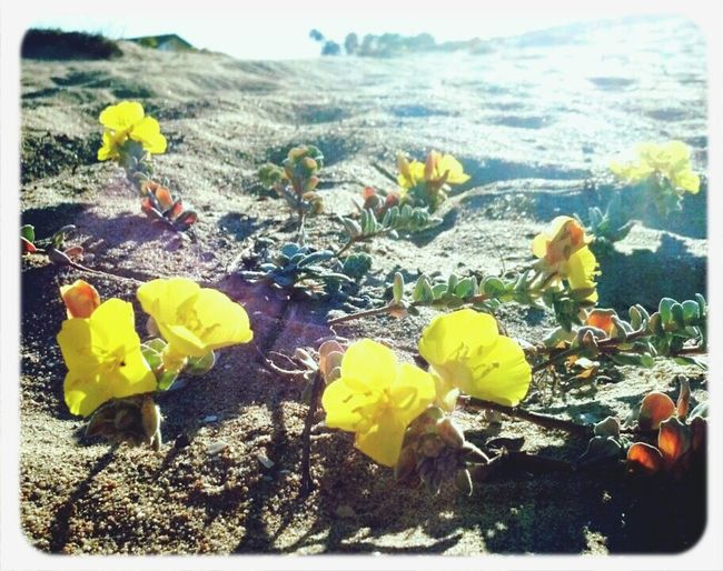 Good Morning Sunshine :) Naturelovers Streamzoofamily Sunshine Flowers