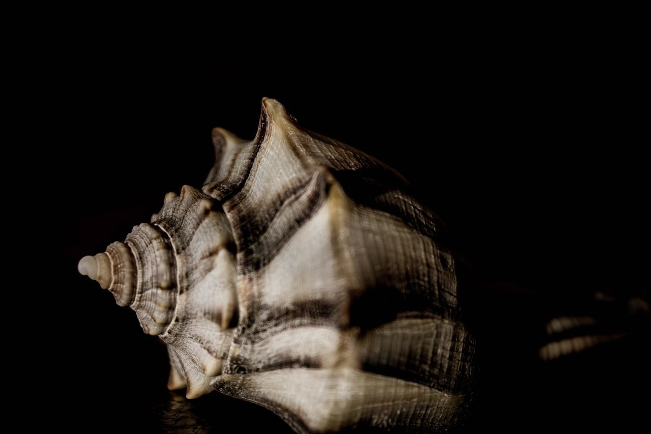 Sea shell Black Background No People Close-up Nature Shell Seashell