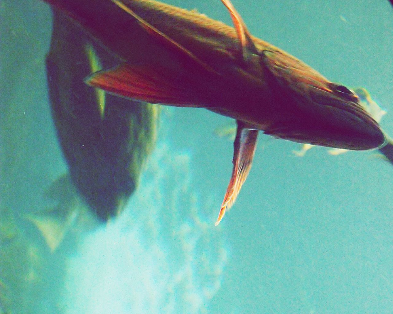 Fish swimming One Animal Animal Themes Swimming Underwater Sea Life Animals In The Wild Fish No People Water Sea UnderSea Animal Wildlife Nature Close-up Day Beauty In Nature Outdoors Orange Fish Carp Large Goldfish Green Water Surreal Weird Angle Fish Belly Out Of Focus EyeEmNewHere