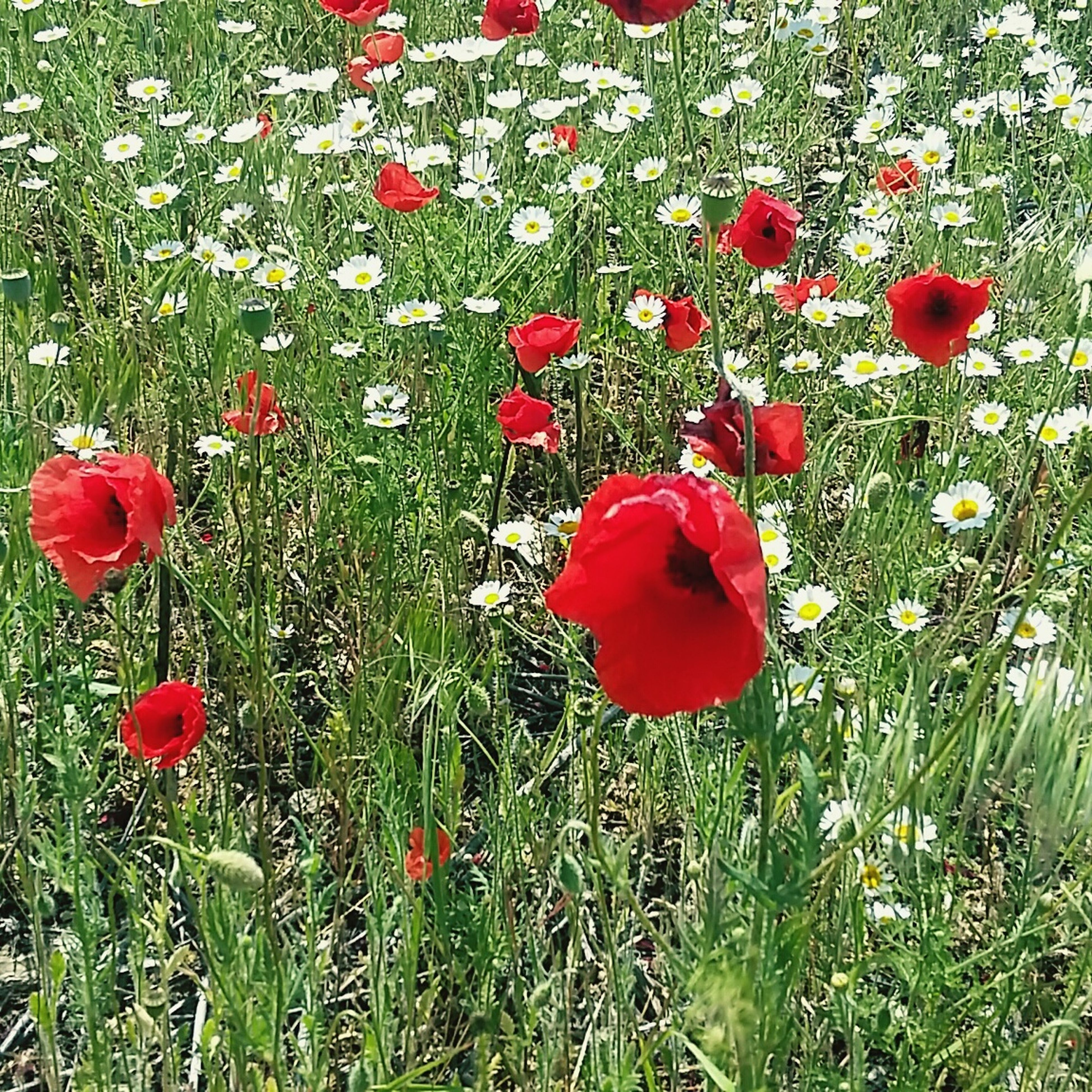 flower, freshness, red, growth, petal, fragility, beauty in nature, poppy, flower head, field, plant, nature, blooming, in bloom, grass, green color, high angle view, stem, day, no people