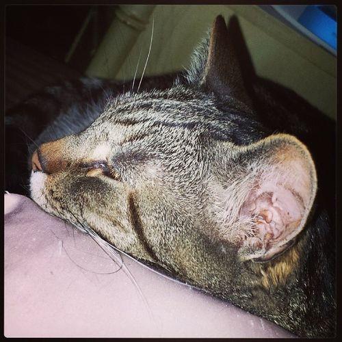 My napping buddy, Yadi. Cats Ilovecats Catsconnect Igcats instagramcats catsofinstagram catlanta tabbycats stlouiscardinalscats