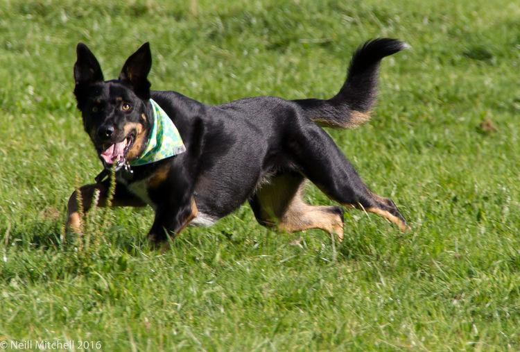 Bandanna Dog Dog Huntaway Huntaway New Zealand New Zealand Hunaway New Zealand Sheepdog Sheepdog Tri Colour Dog