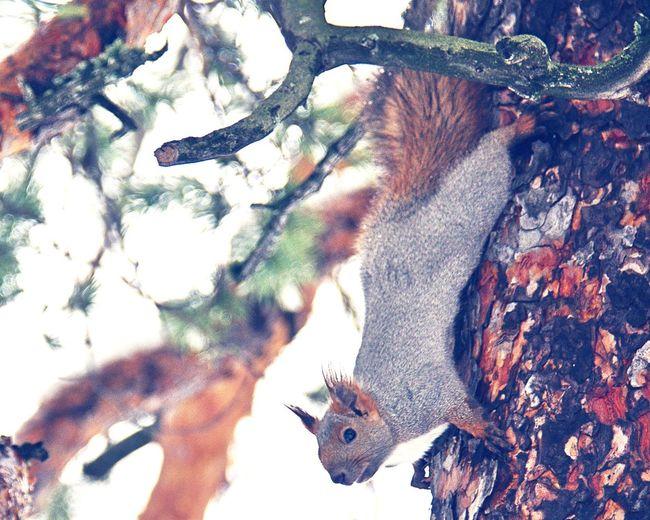 Tree Nature One Animal Mammal Beauty In Nature Branch No People Outdoors белка Когалым Сибирь