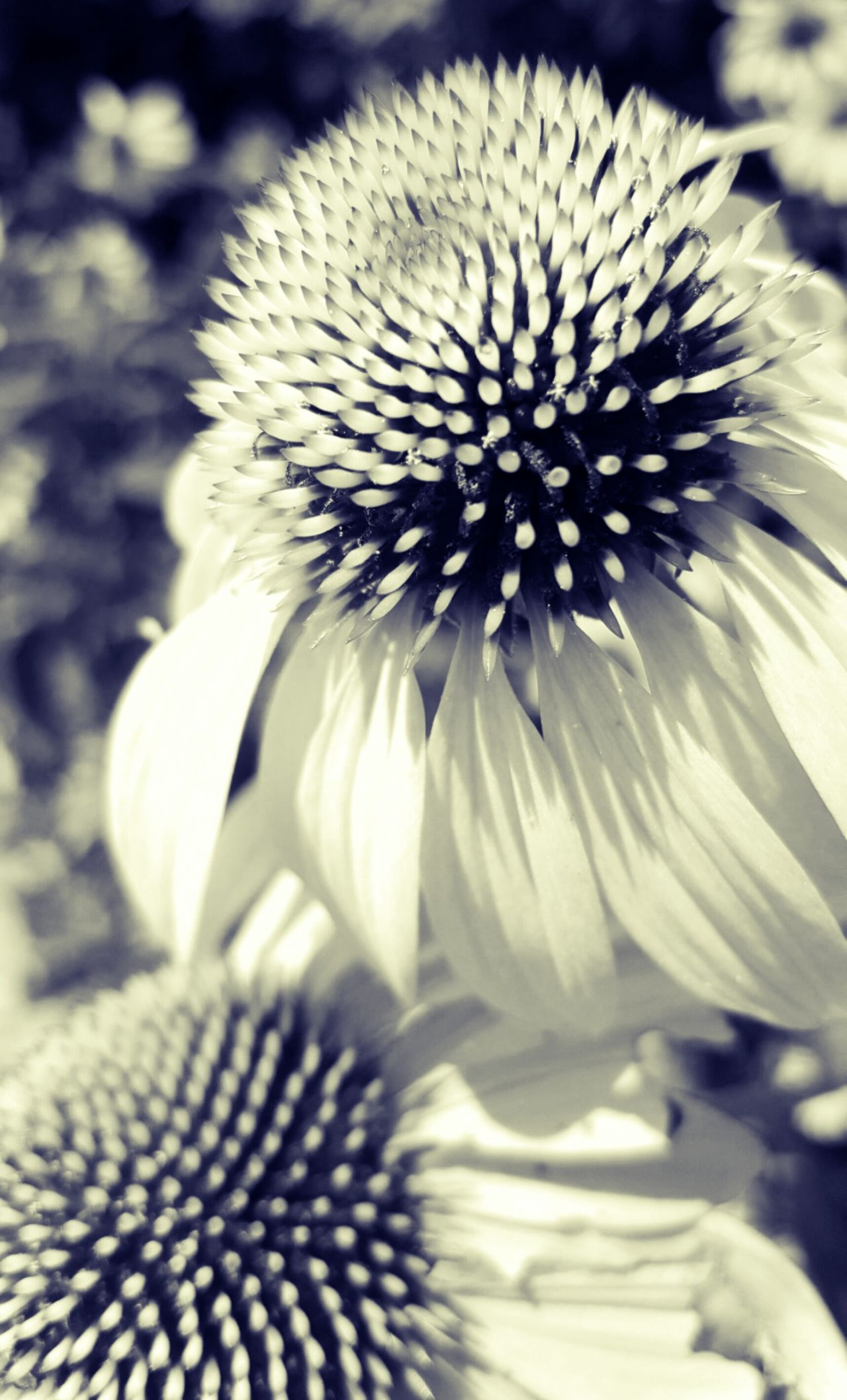 Wildflower Field Wildflower Garden Wildflower Wildflowers Of Eyeem Wildflowers Bloom Blooms Blossoms  Flowers Flowers, Nature And Beauty Flower Collection Garden Photography Michigan Flowers Wildflower Meadow Wildflowers In Bloom Cone Flower Echinacea Plant Life Wildflower Photography Wildflowers Michigan Nature_perfection Nature Photography Blackandwhite Photography Black And White Flower Collection Black And White Flower