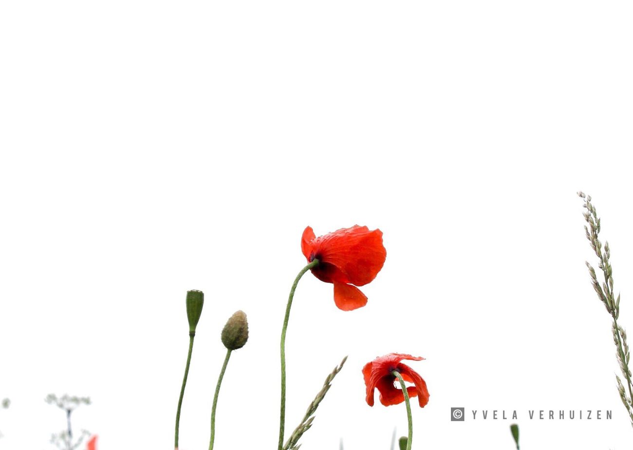 Flower White Background Nature Plant Flower Head Red Poppy Beauty In Nature Leaf Springtime No People Freshness Growth Close-up Fragility Outdoors Day