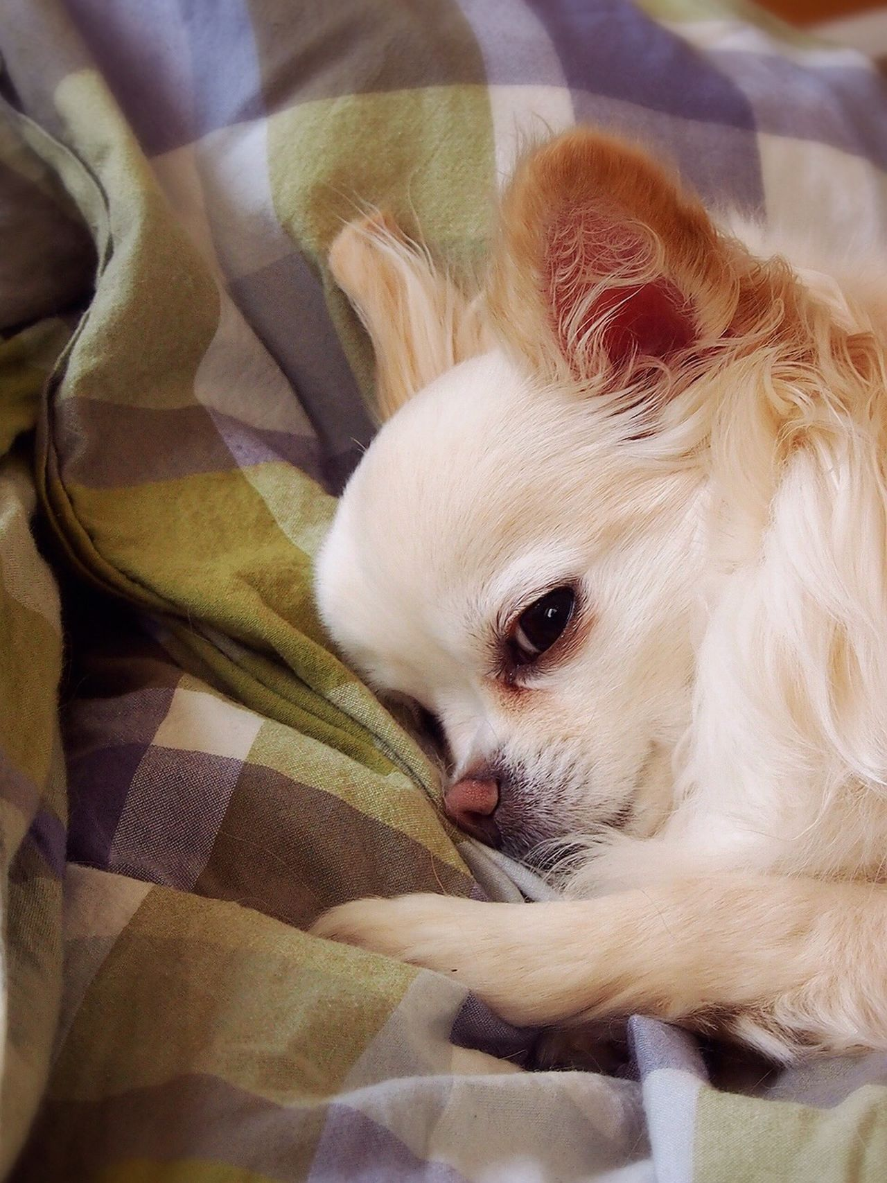 Beautiful stock photos of chihuahua, Animal Themes, Bed, Canine, Carnivora