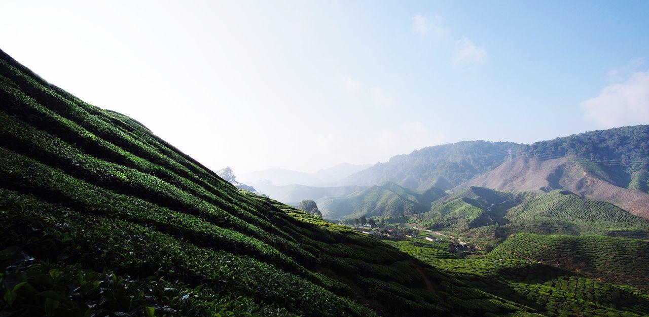 Tea plantation Cameroon Highlands