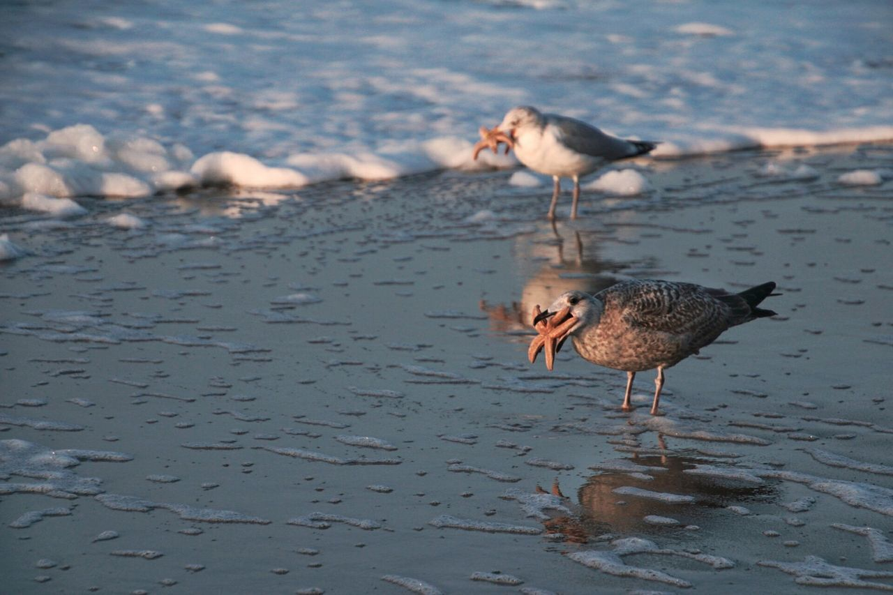 Bird Water Animal Wildlife Sea Animals In The Wild No People Outdoors Sylt, Germany Sylt Seagulls Seagulls And Sea Foreground Background Starfish  Starfish At Beach Cruelty Naturelovers Nature Photography