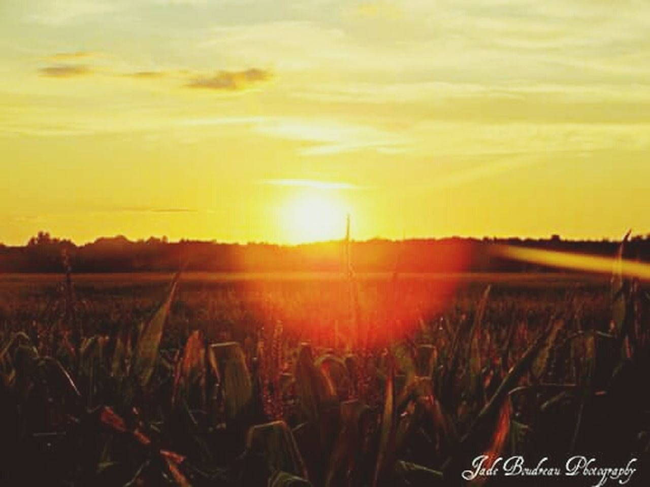 sunset, growth, nature, field, agriculture, beauty in nature, tranquility, plant, scenics, tranquil scene, outdoors, landscape, rural scene, sky, cereal plant, no people, freshness, day