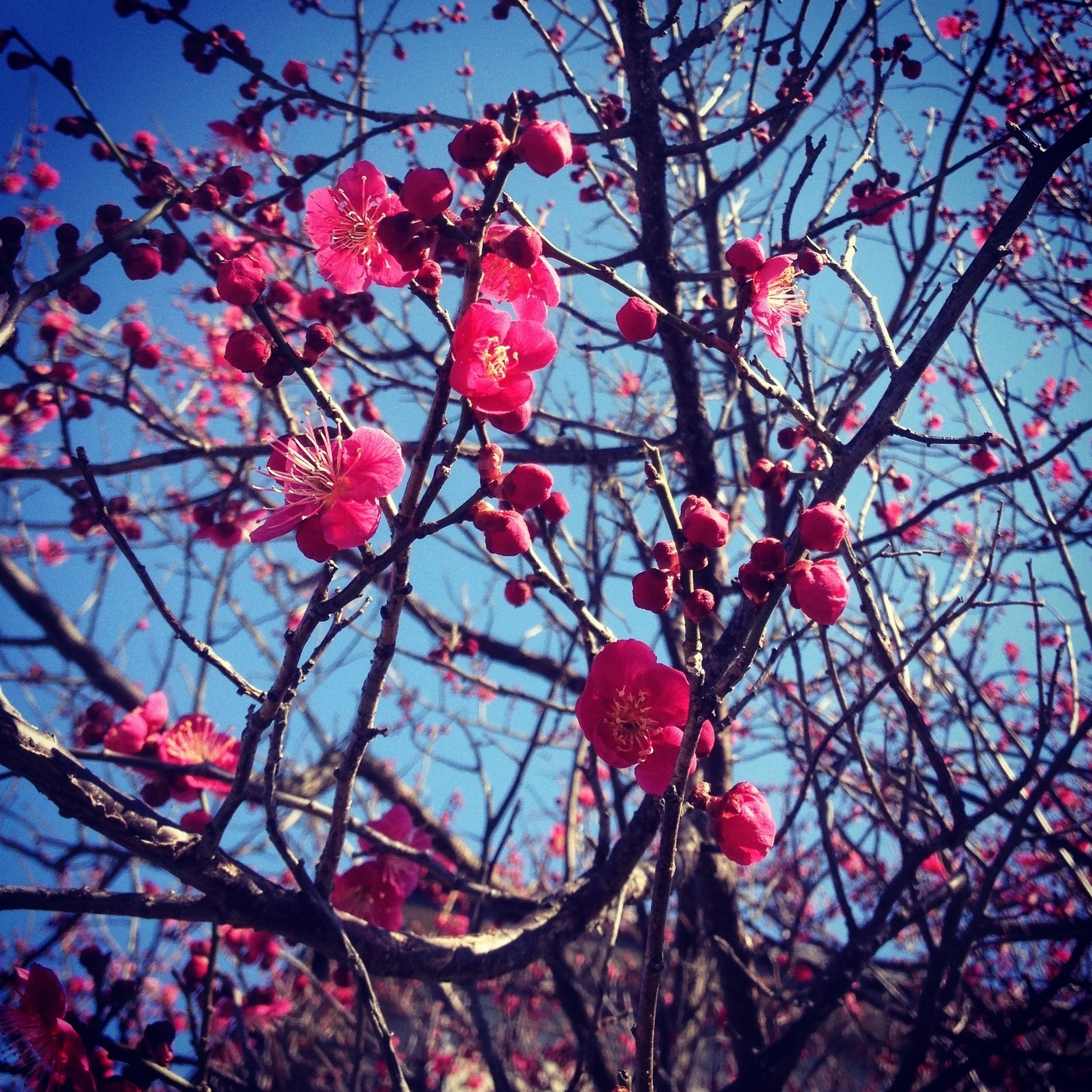 branch, low angle view, tree, red, pink color, flower, growth, nature, sky, freshness, bare tree, beauty in nature, twig, cherry tree, clear sky, outdoors, fragility, close-up, no people, day